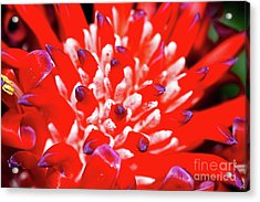 Acrylic Print featuring the photograph Flaming Torch Bromeliad By Kaye Menner by Kaye Menner