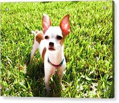 Mini Dog Acrylic Print by Josy Cue