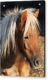 Mini Horse Portrait Two Acrylic Print by Laurie With