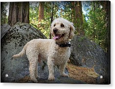Mini Poodle Acrylic Print