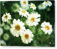 Mini Spring Daisy's Acrylic Print by Cathie Tyler