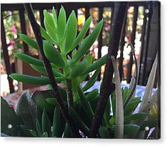 Mini Succulent  Acrylic Print by Russell Keating
