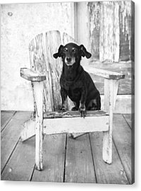 Miniature Dachshund Dog Sitting On An Adirondack Chair In Front  Acrylic Print by Marie Dolphin