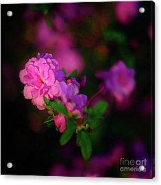 Miniature Pink Azaleas Acrylic Print