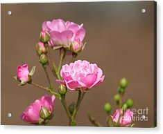 Miniature Pink Roses Acrylic Print by Sharon Talson