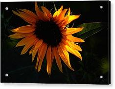 Miniature Sunflower Acrylic Print by Martin Morehead