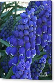 Miniture Grape Hyacinths Acrylic Print