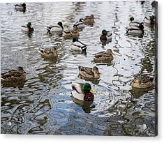 Acrylic Print featuring the photograph Minnesota Ducks by Whitney Leigh Carlson