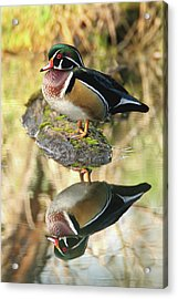 Mirrored Wood Duck Acrylic Print