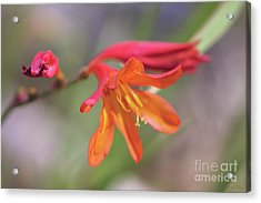 Acrylic Print featuring the photograph Misplaced Beauty by Linda Lees