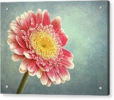 Miss Daisy Acrylic Print