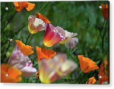 Mission Bell Poppies Acrylic Print