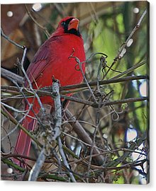 Mister Cardinal Acrylic Print by DigiArt Diaries by Vicky B Fuller