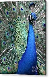 Mister Peacock Acrylic Print