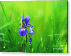 Misty Iris Acrylic Print