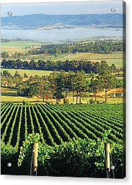 Misty Morning In Yarra Valley Vineyards Near Healesville, Victoria, Australia Acrylic Print by Peter Walton Photography