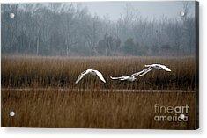 Misty Mute Swans Soaring South Jersey Wetlands Acrylic Print by Diana Wind