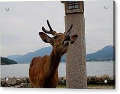 Miyajima Deer Acrylic Print