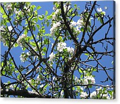 Mn Apple Blossoms Acrylic Print by Barbara Yearty