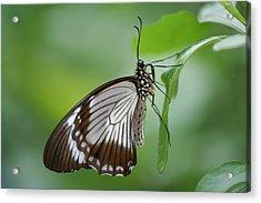 Mocker Swallowtail Acrylic Print by Jeff VanDyke
