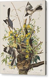Mocking Bird  Acrylic Print by John James Audubon