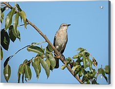 Acrylic Print featuring the photograph Mocking Bird by Rosalie Scanlon