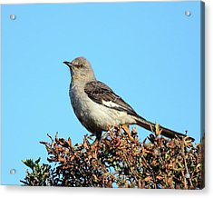Mockingbird . 7682 Acrylic Print by Wingsdomain Art and Photography