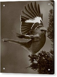 Mockingbird In A Pine Acrylic Print