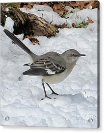 Mockingbird In The Snow Acrylic Print