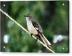 Mockingbird On Rope Acrylic Print