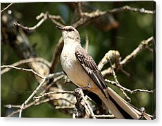Acrylic Print featuring the photograph Mockingbird  by Sheila Brown