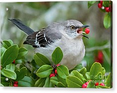 Mockingbird With Berry Acrylic Print by Rebecca Miller