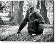 Modeling Gorilla Acrylic Print