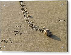 Mole Crab On The Move Acrylic Print