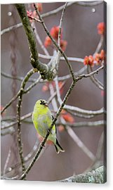Acrylic Print featuring the photograph Molting Gold Finch by Bill Wakeley