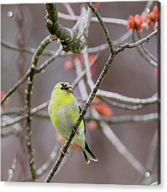 Acrylic Print featuring the photograph Molting Gold Finch Square by Bill Wakeley