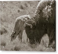 Acrylic Print featuring the photograph Mom And Baby Buffalo by Rebecca Margraf