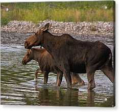 Acrylic Print featuring the photograph Mom And Baby Moose River Crossing by Mary Hone