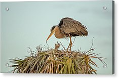 Mom And Chick Acrylic Print