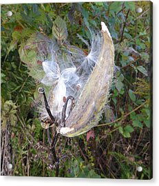 Acrylic Print featuring the photograph Moment In The Life Of A Milkweed by Joel Deutsch