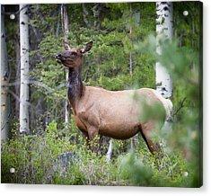 Momma Elk Is Watching Acrylic Print by Ken Cornett