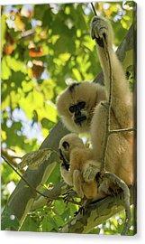 Mommy Gibbon Acrylic Print