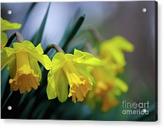 Acrylic Print featuring the photograph Mom's Daffs by Lois Bryan