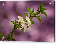 Mon Cherry Acrylic Print by Bulik Elena