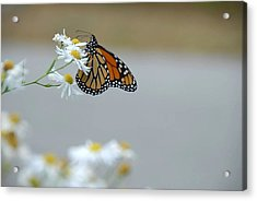 Monarch   Acrylic Print by AnnaJanessa PhotoArt