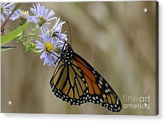 Monarch 2015 Acrylic Print by Randy Bodkins