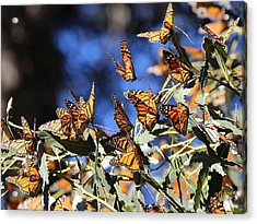Monarch Active Cluster Acrylic Print