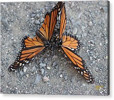 Monarch Afterglow Acrylic Print