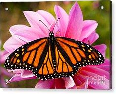 Monarch And Dahlia Acrylic Print