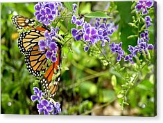 Monarch And Purple Flowers Acrylic Print by Rosalie Scanlon